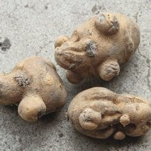 "Potatoes Officially Classified as ""High Risk"" For GMO Contamination"