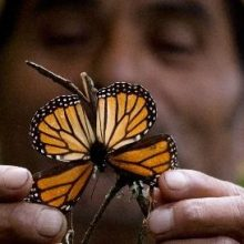California Monarch Butterfly Numbers Plunge Almost 90 Percent in One Year