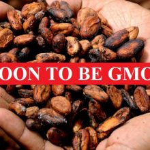 First Chocolate Company to Brag About Being Pro-GMO Also Supports GMO Cacao Trees