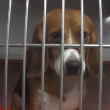 Major Chemical Company Busted for Force-Feeding Pesticides to Dozens of Beagles in Controversial Experiment (with Video)