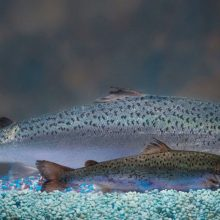 GMO Salmon Cleared for Importation by U.S. FDA, Expected to Hit Dinner Plates Soon