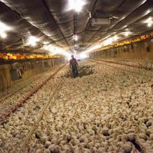 Heavily Chlorinated Chicken Still Sold in the U.S., But Banned Throughout Europe