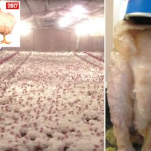 Chicken Meat Washed With Chlorine Still Widely Sold in the U.S., But Banned Throughout Europe