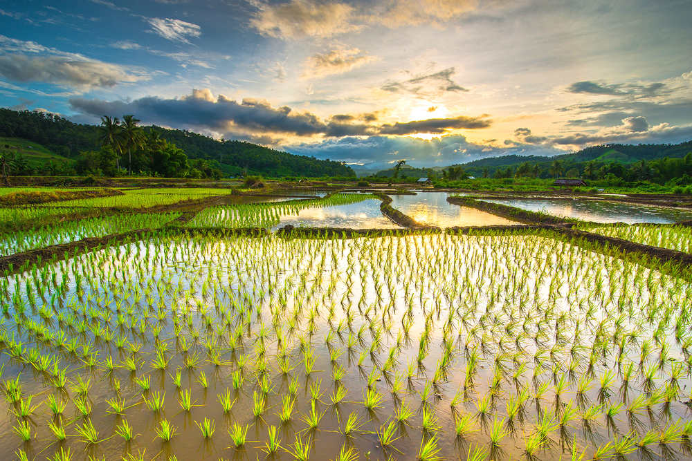 rice paddy gmo climate change