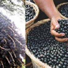 Scientists Find Anti-Malarial Compounds Inside the Antioxidant-Rich Amazonian Açaí Berry
