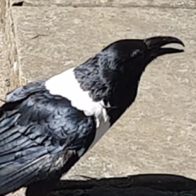 Talking Raven Asks People on the Street 'Y'Alright Love?' In a Strong Yorkshire Accent