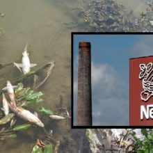 """I Have Never Seen Pollution of this Magnitude:"" Nestlé Faces Lawsuit After Tons of Dead Fish Wash Up on Riverbanks"