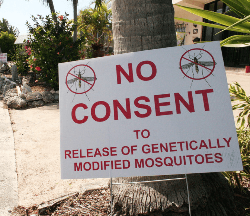no consent gmo mosquitoes