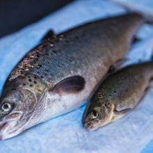 BREAKING NEWS: Federal Fires Back at FDA Attorneys, Appears Poised to Deny Approval of GMO Salmon