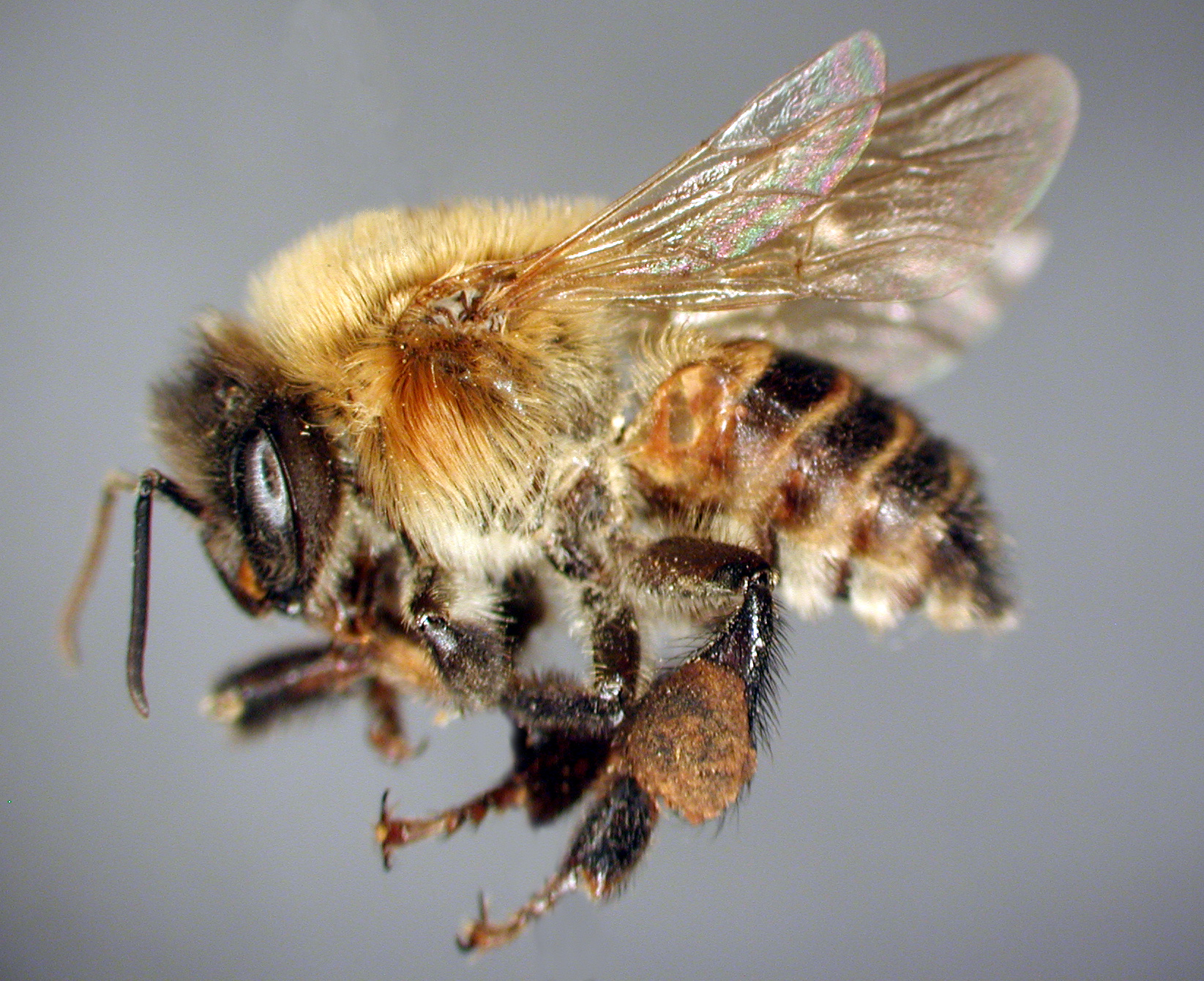 stingless bee in mexico