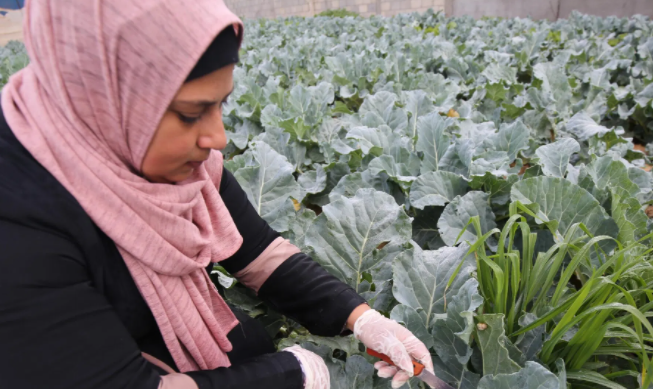 gaza strip woman poverty broccoli farmer