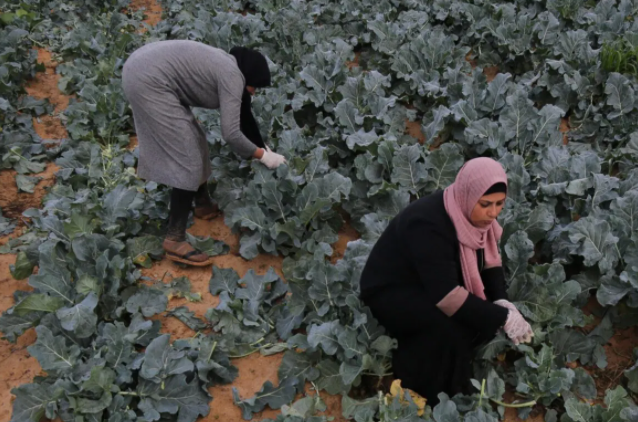 gaza strip working in the fields