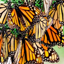 Monarch Butterflies in California Now 99.9% Gone Since the 1980s; Environmental Groups Urge Congress to Save Them Before It's Too Late