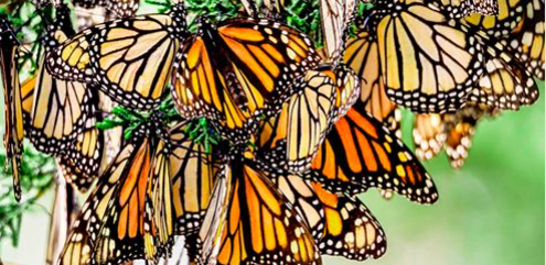monarch butterflies california