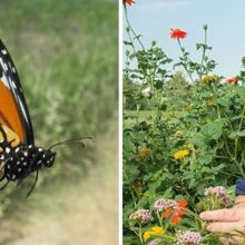 Two Tips to Make Your Garden as Attractive as Possible to Monarch Butterflies This Spring
